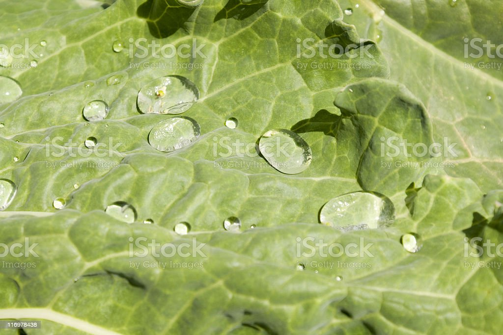 Raindrops on a cabbage leaf royalty-free stock photo