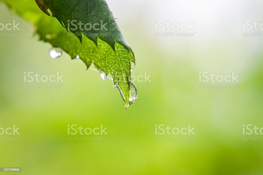 raindrops on a rose leaf stock photo
