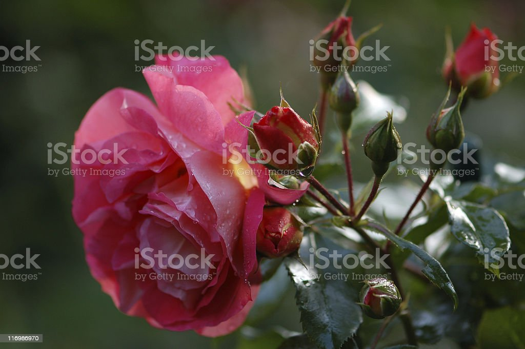raindrops on a rose with buds stock photo