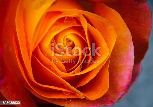The intricate folds of an orange rose hold tiny droplets of rainwater.