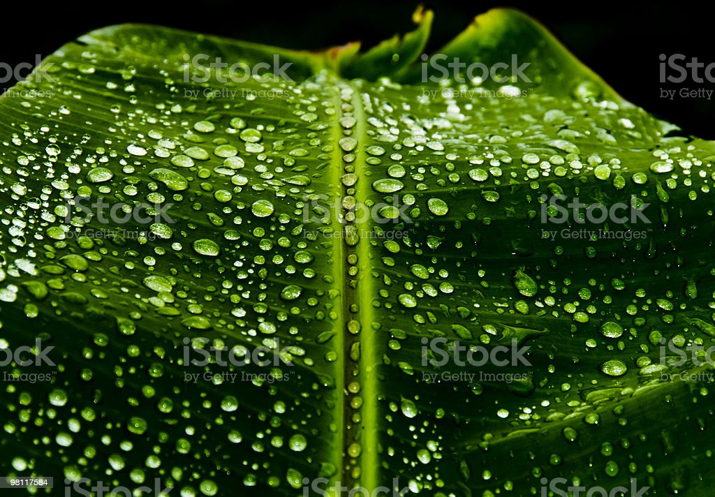 Raindrops on Banana leaf. royalty-free stock photo