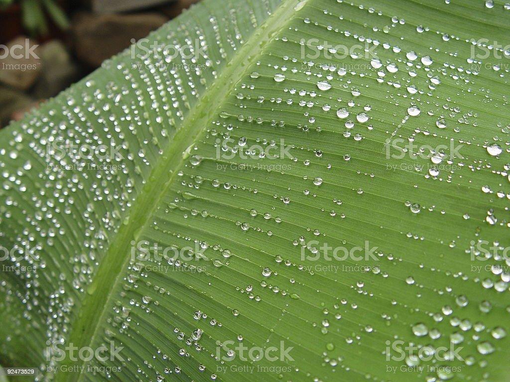 Regentropfen auf Bananenstaude Blatt 3 Lizenzfreies stock-foto