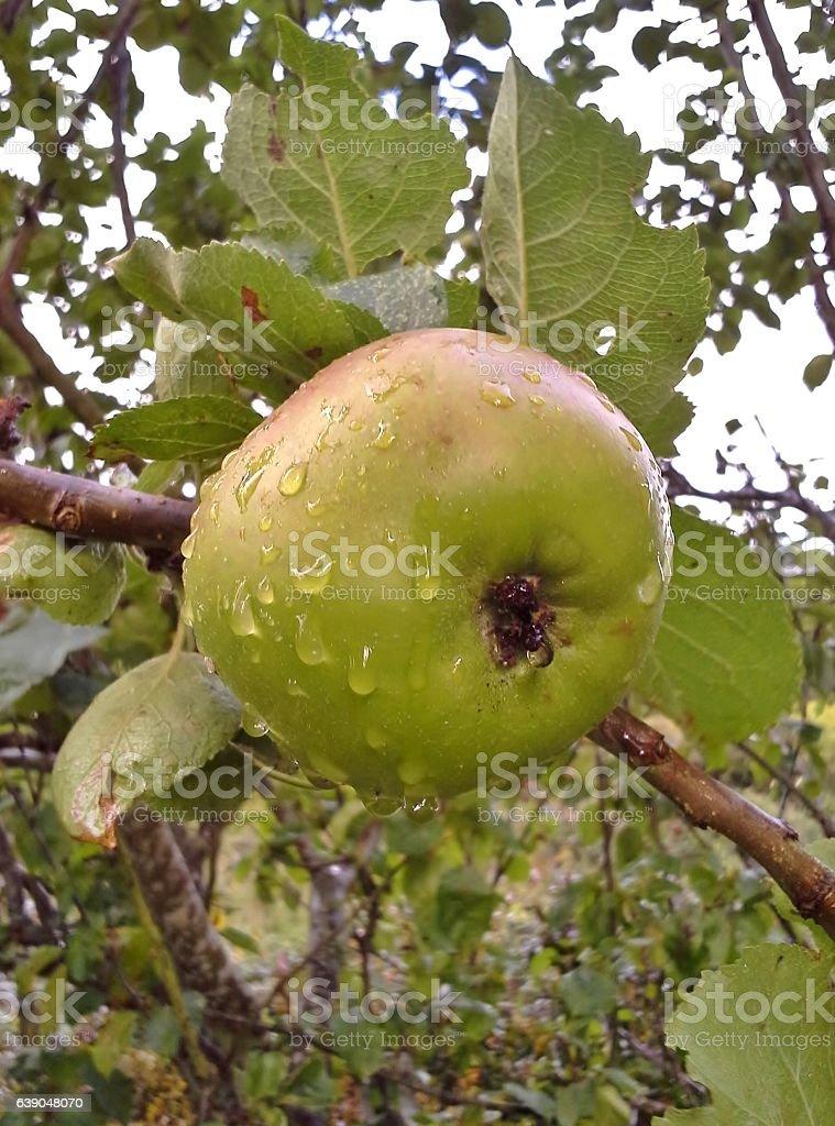Raindrops on Bramley Apple stock photo