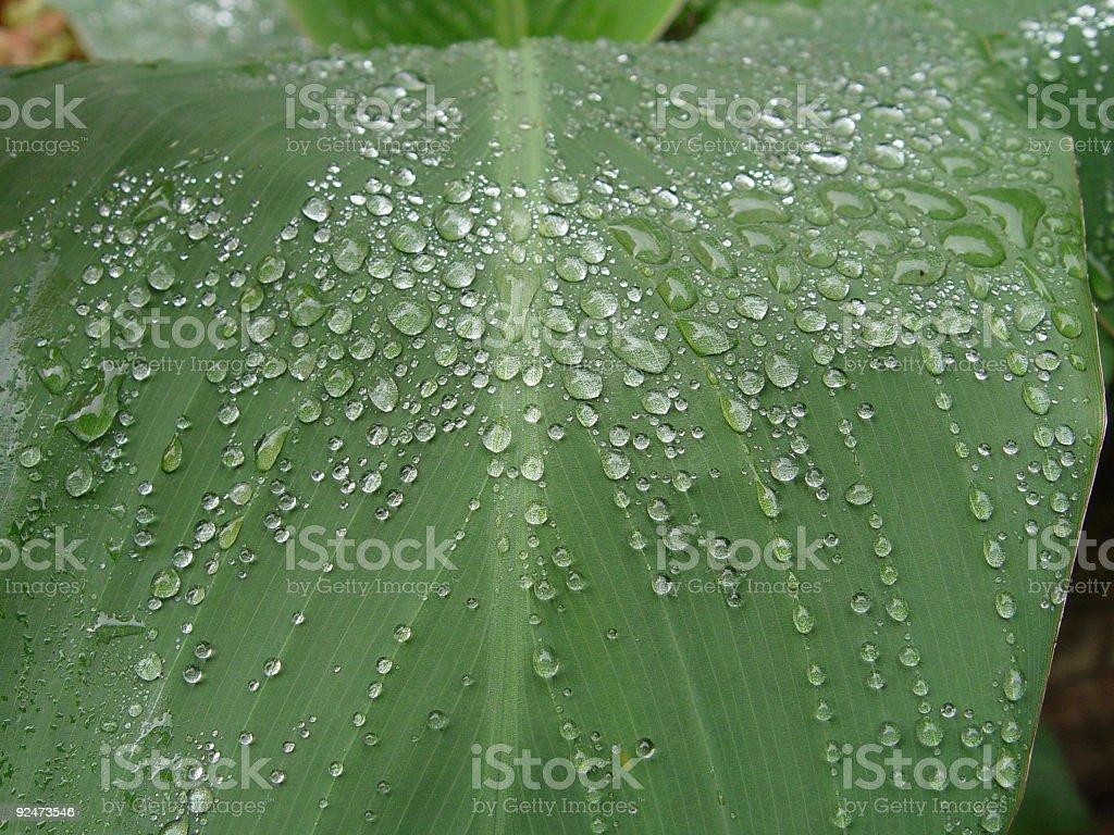 Raindrops on canna leaf 01 royalty-free stock photo