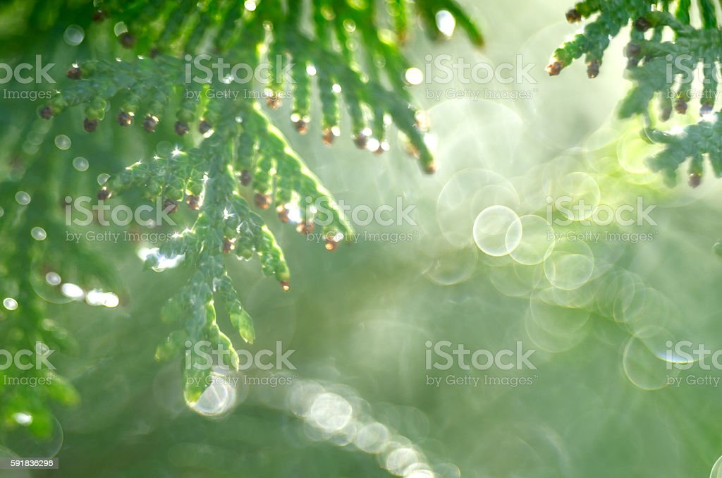 Raindrops on cypress tree stock photo