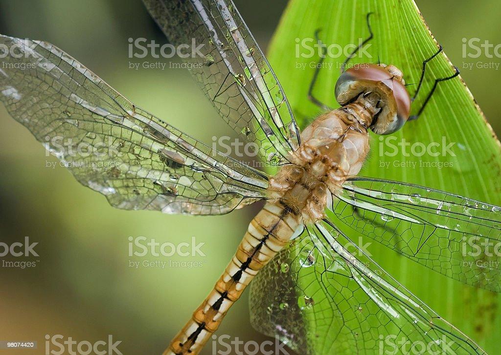 Raindrops on dragonfly royalty-free stock photo