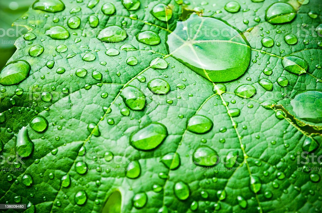 raindrops on grape leaf royalty-free stock photo