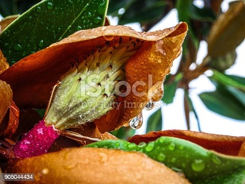 istock raindrops on green magnolia leaves and small magnolia flower bul 905044434