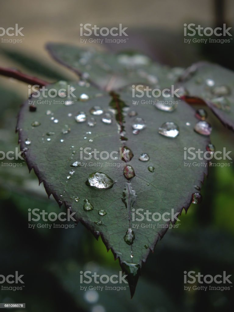 Raindrops on leaves royalty-free stock photo