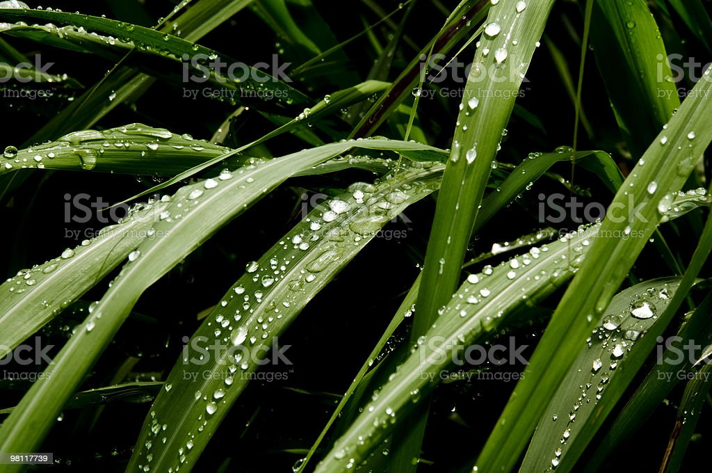 Raindrops on leaves_1 royalty-free stock photo