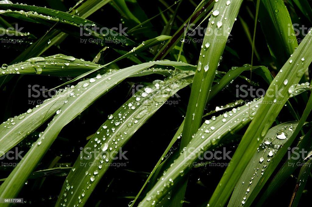 Le gocce d'acqua su leaves_1 foto stock royalty-free