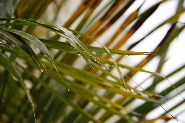 Raindrops on Palm Leaf stock photo