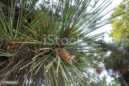 Raindrops on pine needles in the fall during the rain. Pine cones