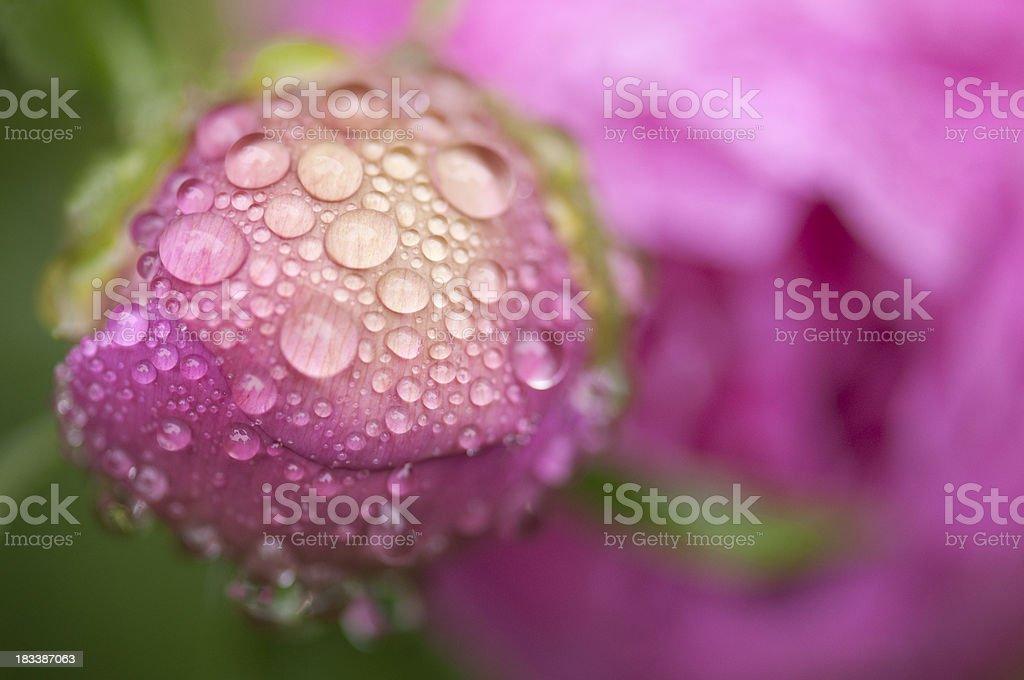 Raindrops on pink rosebud close up royalty-free stock photo