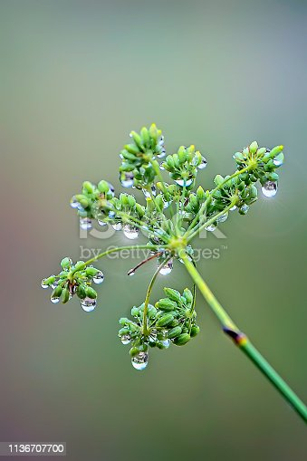 Raindrops on a dill plant