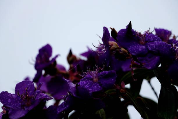 Raindrops on Tibouchina Flowers stock photo