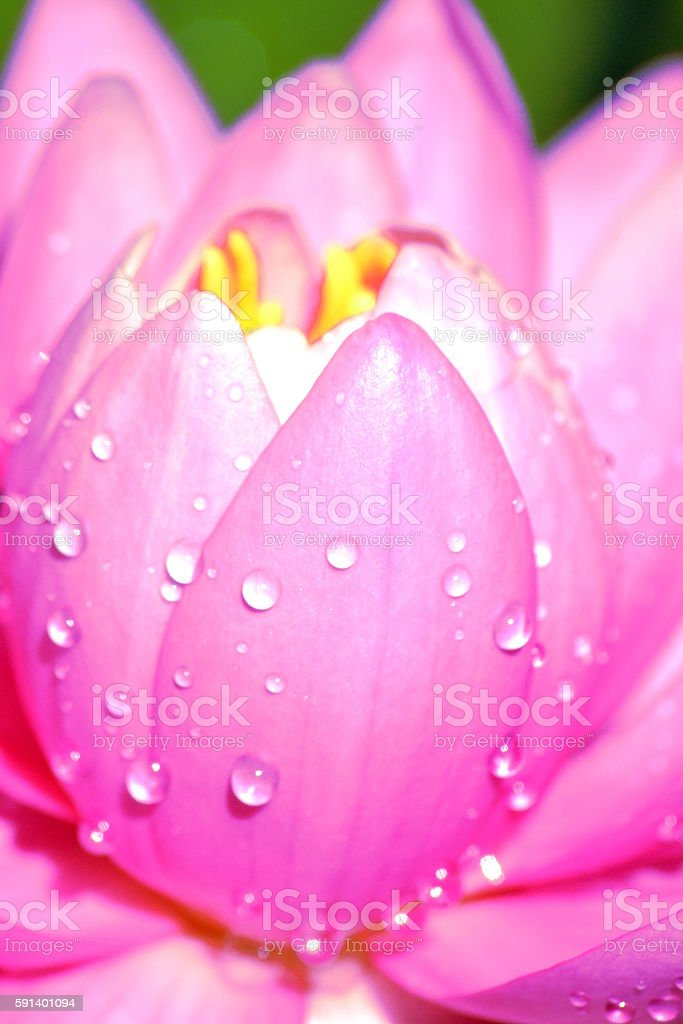 raindrops on water-lily stock photo