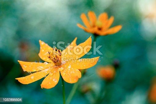 Raindrops on yellow flower macro close up