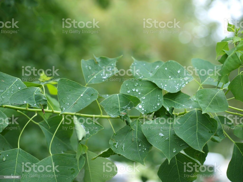 Raindrops slowly slide down the leaves of a heart tree. stock photo