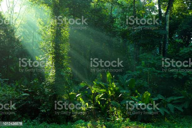 Rainforest and sunbeam at morning picture id1012436578?b=1&k=6&m=1012436578&s=612x612&h=  gdc9q8kjacywf9u6oqlkvutau38lw s1g0pwon9aq=