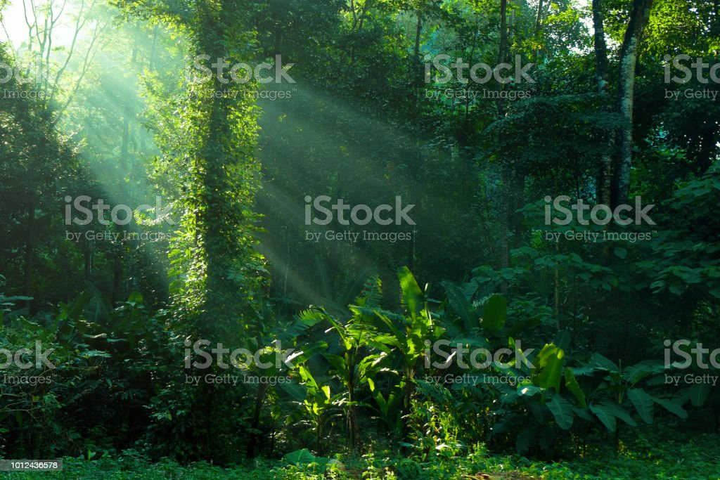 rainforest and sunbeam at morning stock photo