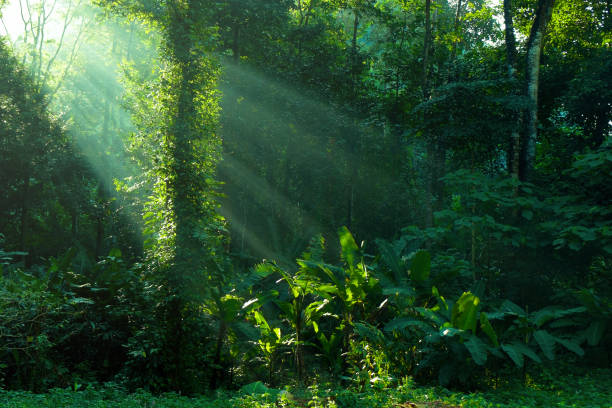 rainforest and sunbeam at morning - trees in mist stock pictures, royalty-free photos & images