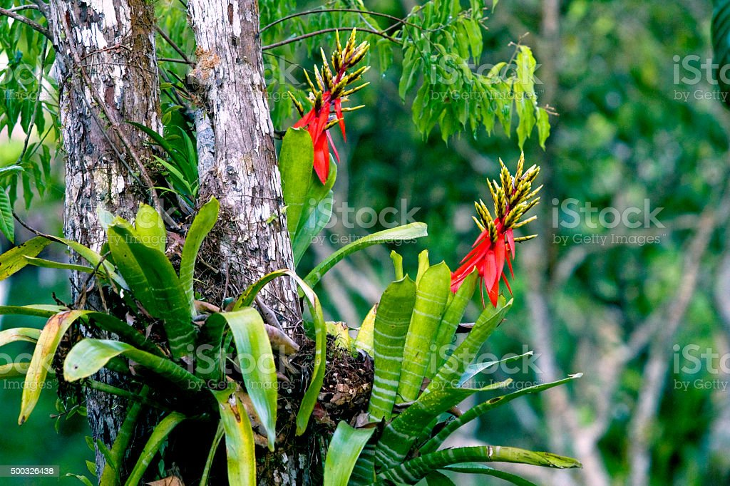 Rainforest bromeliads growing on a tree stock photo