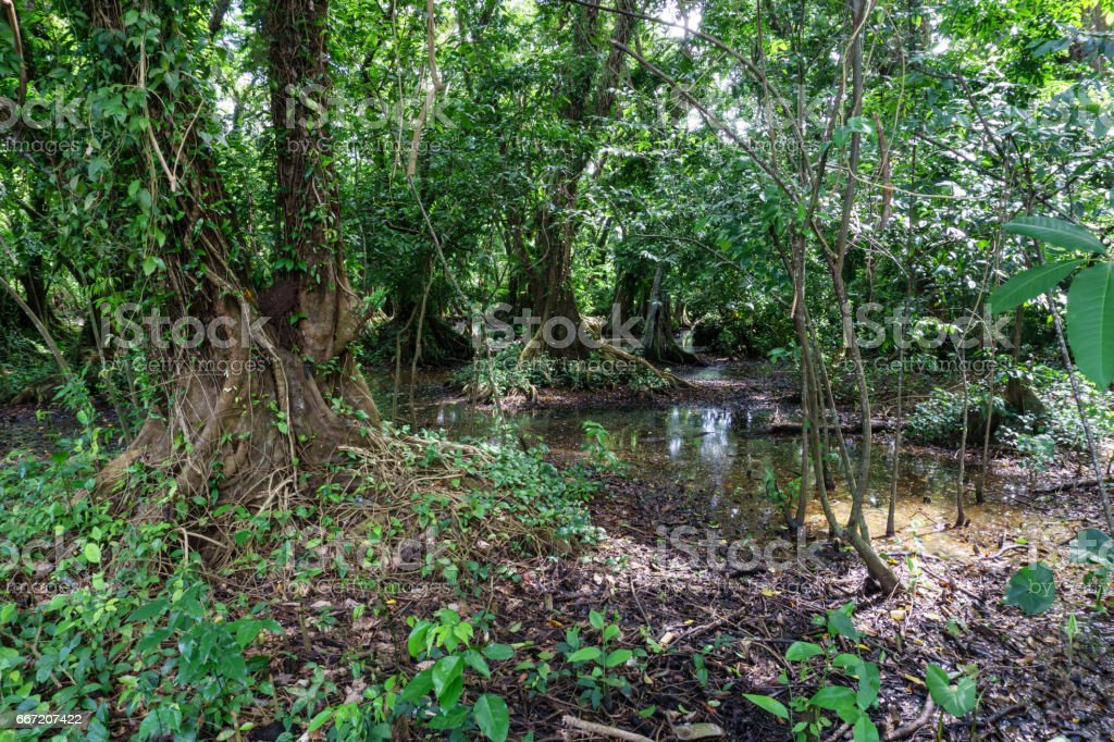 rainforest jungle with big trees from Nicaragua royalty-free stock photo