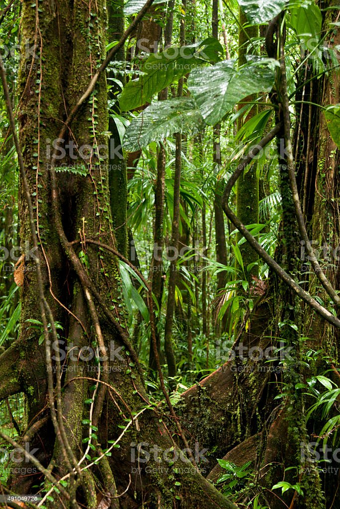 Rainforest Jungle With Vines In Dominica Stock Photo Download Image Now Istock