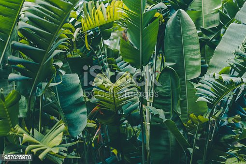 istock Rainforest leaves background 957025970