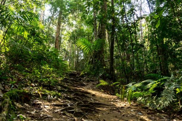 chemin de la forêt tropicale en fond de jungle tropicale sentier - arbre à feuilles caduques photos et images de collection