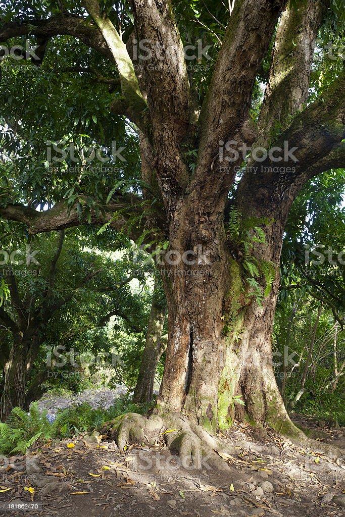 Rainforest Tree, Maui stock photo
