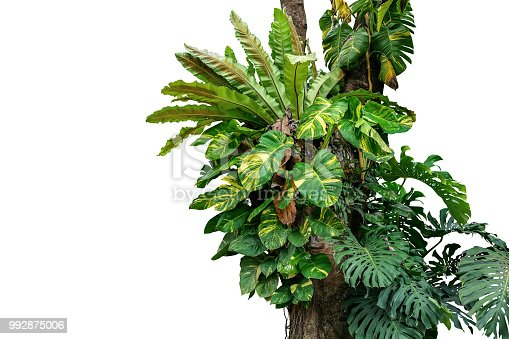 Rainforest tree trunk with tropical foliage plants, Monstera, golden pothos vines ivy, bird's nest fern, and orchid leaves isolated on white background with clipping path, rich biodiversity in nature.