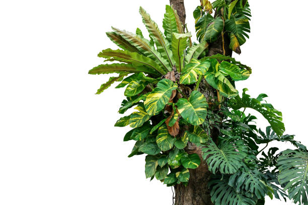 rainforest tree trunk with tropical foliage plants, monstera, golden pothos vines ivy, bird's nest fern, and orchid leaves isolated on white background with clipping path, rich biodiversity in nature. - jungle стоковые фото и изображения