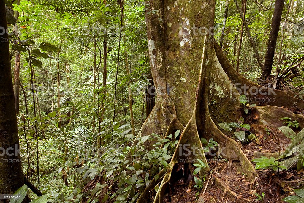 Rainforest tree with buttress roots stock photo
