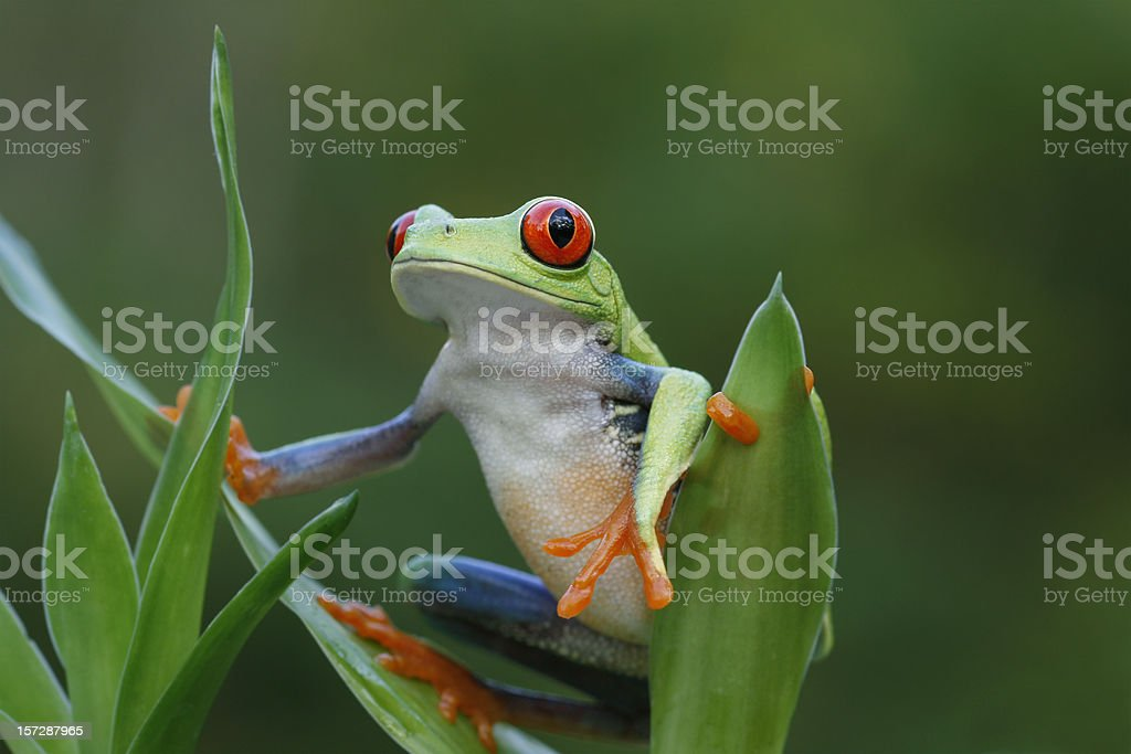 Rainforest View - Red Eyed Tree Frog stock photo