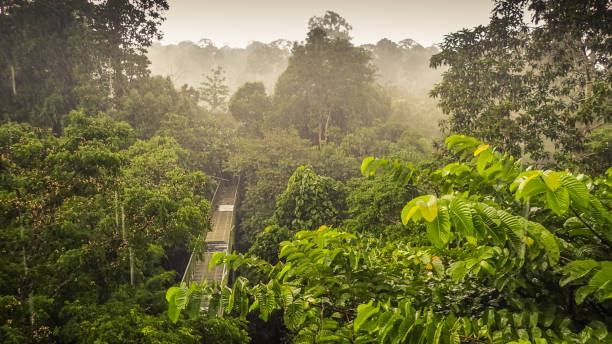 Rainforest wiew from the Canopy Walk Tower In Sepilok, Borneo Canopy Walk In Sepilok, Sabah, the Malaysian part of Borneo. An early morning with fog. Rainforest trees. Picture taken from the high tower. island of borneo stock pictures, royalty-free photos & images