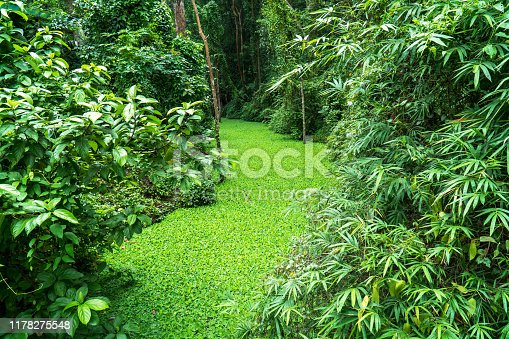 Rainforest with river and tree background. Green rain forest jungle with duckweed cover canal surface and tree
