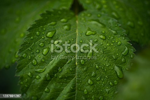 istock Raining Drops on fresh green leaf for nature background 1237691287