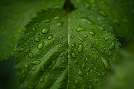 Raining Drops on fresh green leaf for nature background