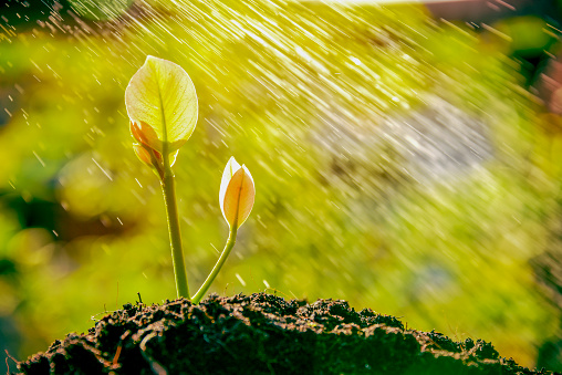 915680272 istock photo Raining season great for sprout growing out from soil. 1058375114