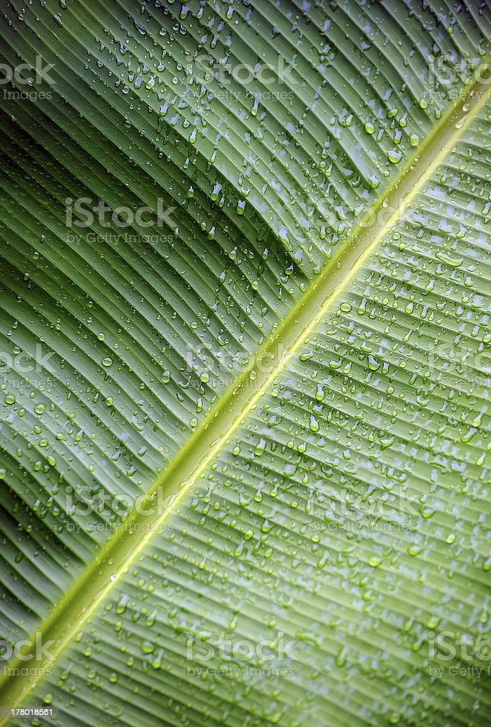 Rainswept palm leaf, Costa Rica royalty-free stock photo
