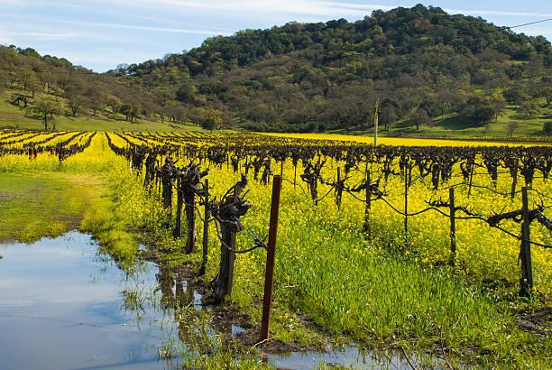 von regenwasser pfützen weinberge und senf oak forest napa, kalifornien - robert weinberg stock-fotos und bilder