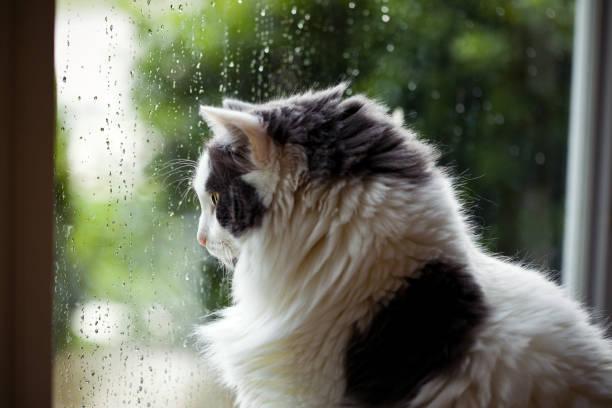 Rainy day cat stuck inside picture id690587790?b=1&k=6&m=690587790&s=612x612&w=0&h=cwtl3etycd jinxwwffojs7ze4 ge 9wt0weknsn0wu=