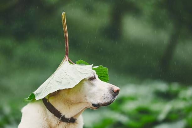 Rainy day with dog in nature picture id959647834?b=1&k=6&m=959647834&s=612x612&w=0&h=qefu2kg vbnkrw3wfuxpktl7ypwza5axfanwgrclfzs=