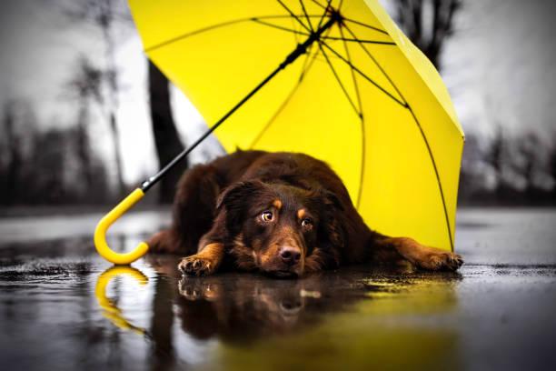 perro lluvioso - mojado fotografías e imágenes de stock