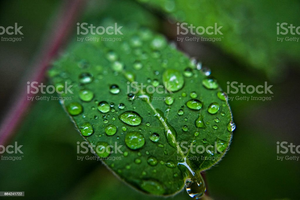 Rainy drops on green leaf, after the rain royalty-free stock photo