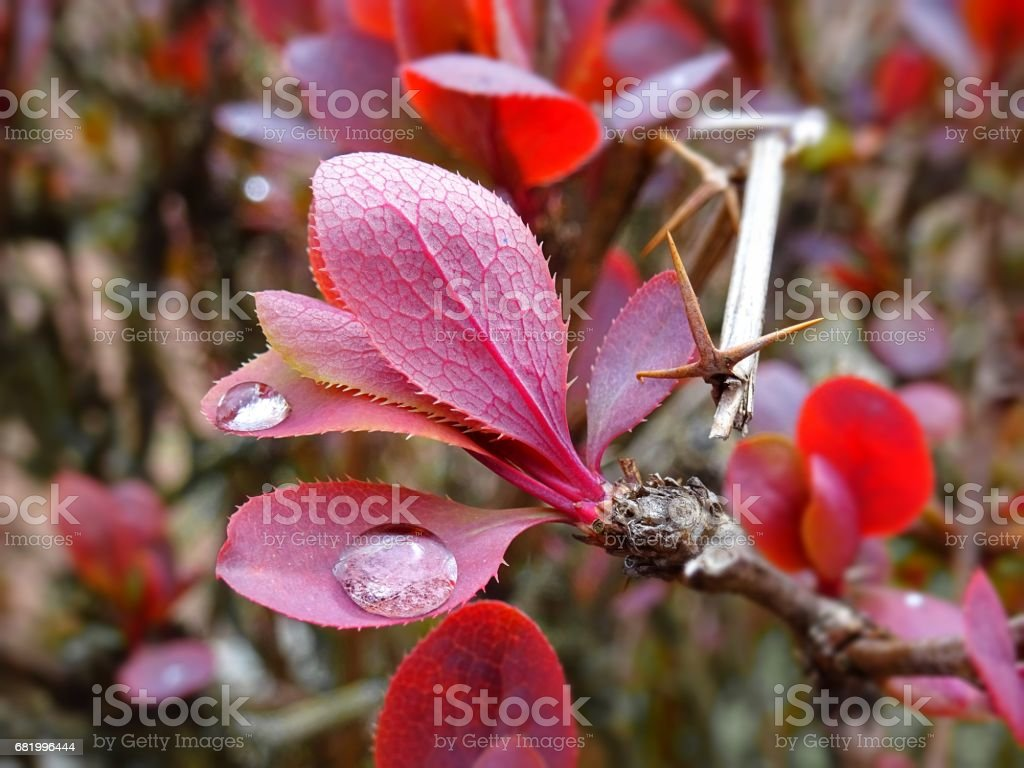 Rainy Red Leaves In Spring With Small Shiny Water Droplets After