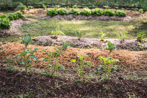 Raised bed at Home Grown Vegetable Garden stock photo