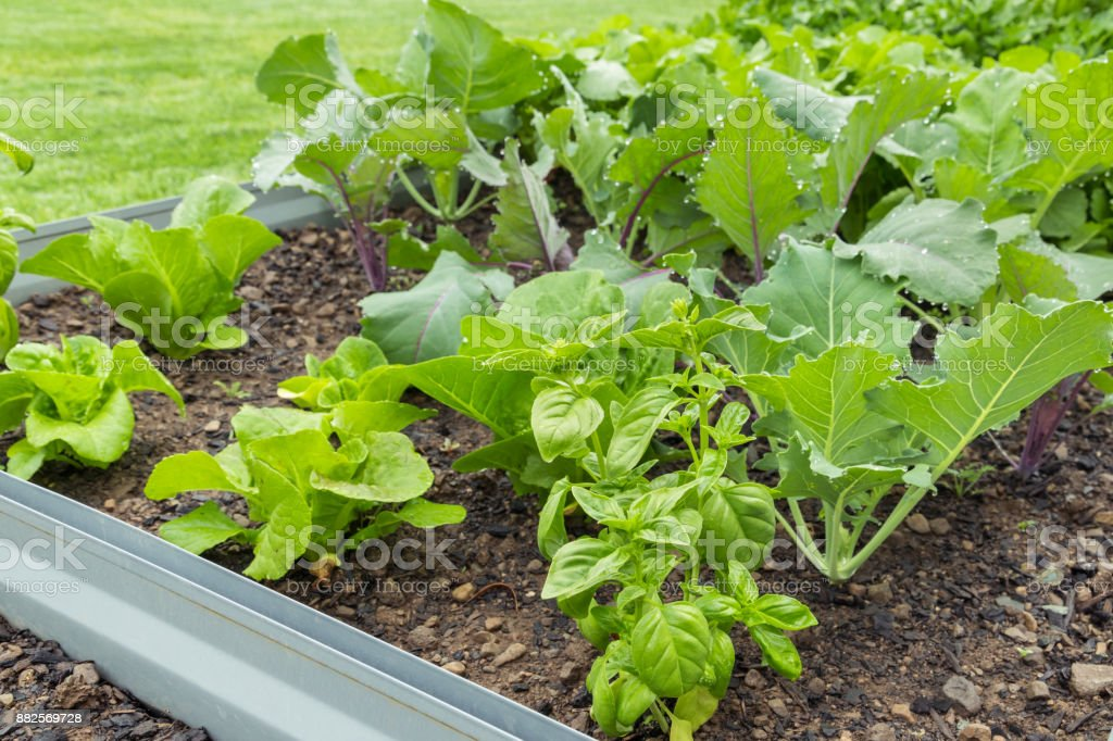 raised bed in vegetable garden with leafy vegetables stock photo